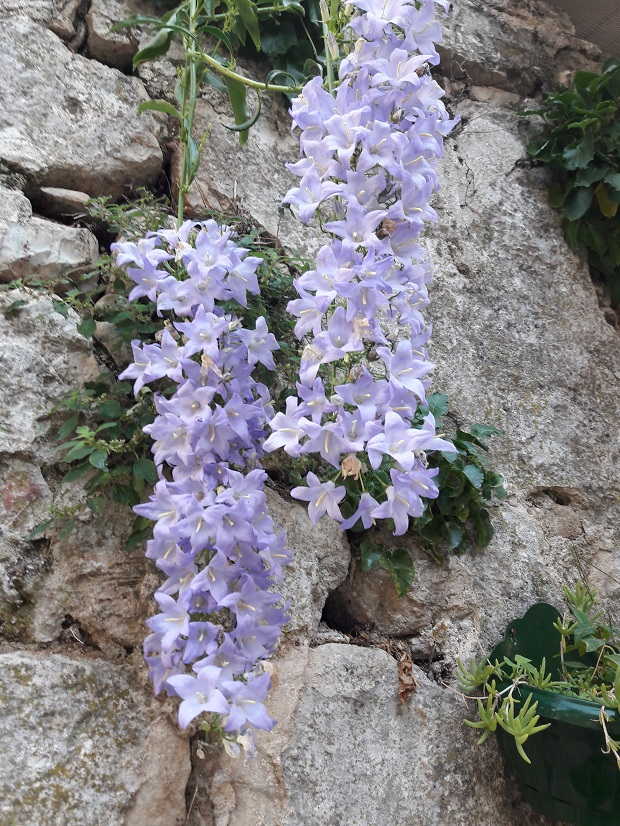 Campanula – bell-like flowers signifying gratitude, faith and constancy